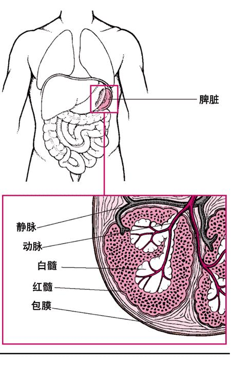 脾脏组织学结构图片
