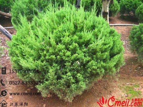 常绿乔木,高可达8米,树干挺直,树形呈狭圆柱形,小枝扭曲上伸,故而得名