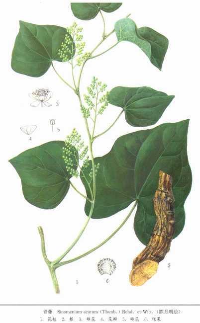 叶互生,厚纸质或革质,卵圆形,长7~15厘米,宽5~12厘米,先端渐尖或急