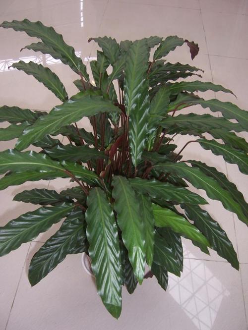 紫背竹芋(学名:Stromanthe sanguinea Sond)竹芋科,花 ...