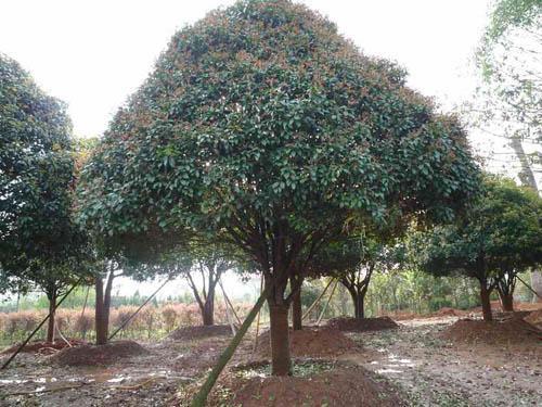 ②庭院栽培的桂花树应剪整理为伞形其形增添乐趣美景.