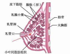 乳房发育不良