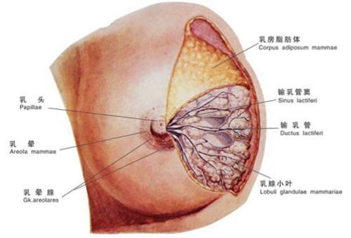 乳腺囊肿-+搜狗百科