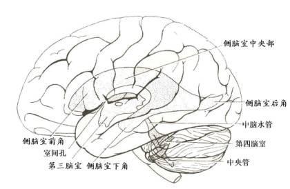 脑干腹侧面手绘图