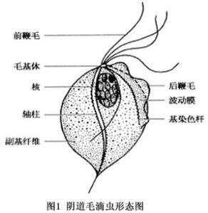 基的新鲜标本,形状与大小随虫种的来?-阴道毛滴虫病