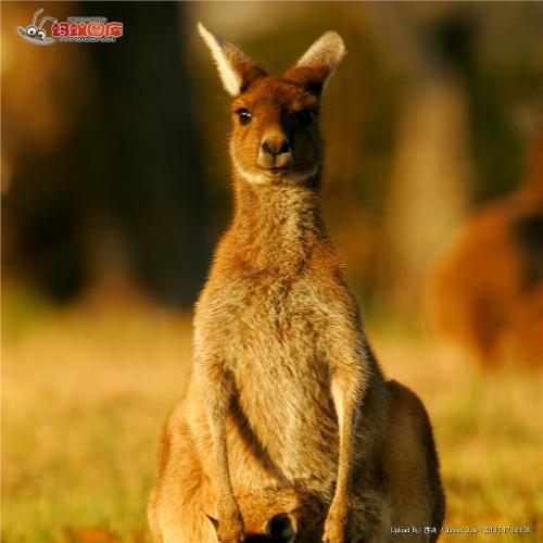 个别种类的袋鼠也吃树叶或小树牙.