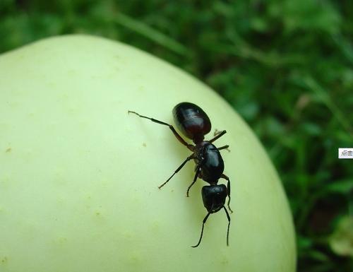 蚂蚁搬树叶矢量