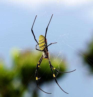 蜘蛛(节肢动物名)