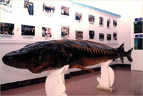 是国内唯一一家保护国家一级保护动物中华鲟的专业