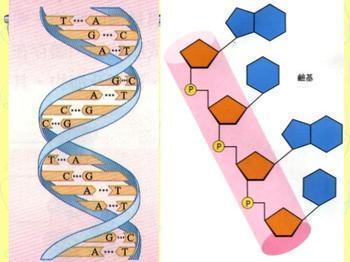 核酸的一级结构图示