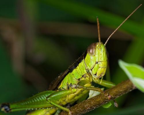 蝗虫(直翅目蝗科动物的统称)