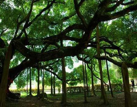 阳朔大榕树