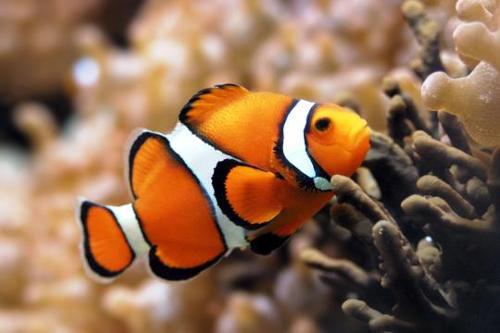 小丑鱼与海葵有着密不可分的共生关系