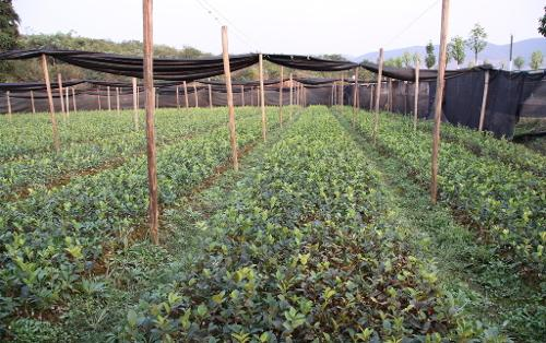 中国茶油的食疗双重功能实际上优于橄榄油,除了两种油脂的脂肪酸组成