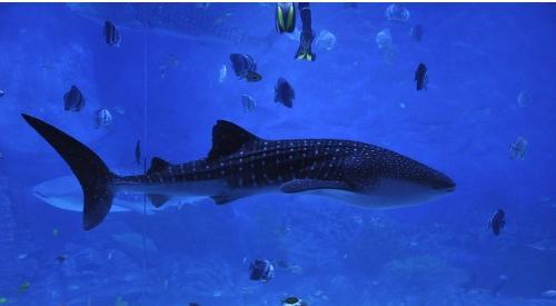 鲸鲨科 搜狗百科