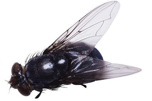 苍蝇头部手绘图