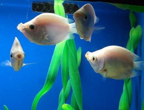 接吻鱼为什么会接吻_接吻鱼 - 搜狗百科