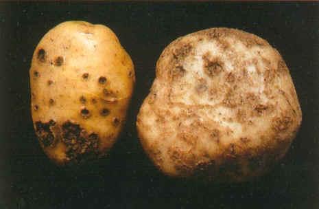 马铃薯淀粉粒脐点轮纹手绘图