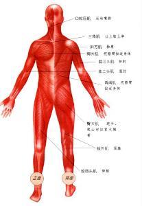 腰部骨骼固)�_全身骨骼肌收缩