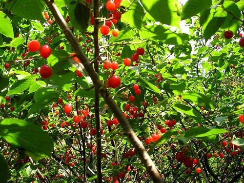 在父亲农场里,有一颗小樱桃树,那是父亲为纪念华盛顿的诞生而栽种的.
