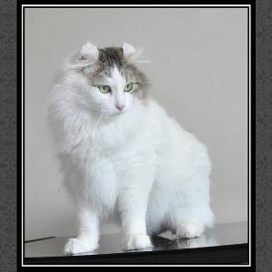 美国卷耳猫 搜搜百科