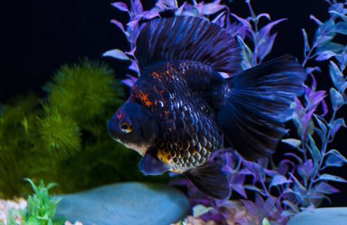 关键词:热带鱼 鱼类 鱼 金鱼 海洋生物 观赏鱼 精美鱼 高 (1024x680)