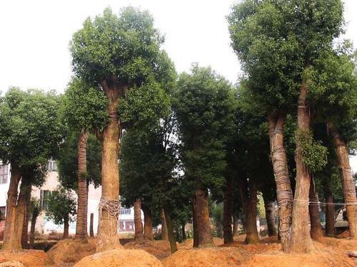 香樟树是属于樟科的常绿性乔木