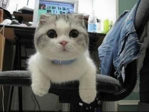 小猫穿裙子简笔画-苏格兰折耳猫