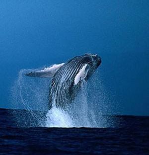 蓝鲸铅笔画手绘