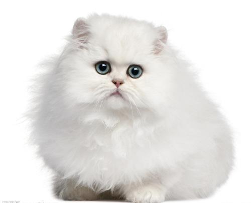 波斯猫(小型猫科哺乳动物)