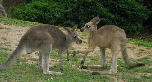 动物百科袋鼠图片
