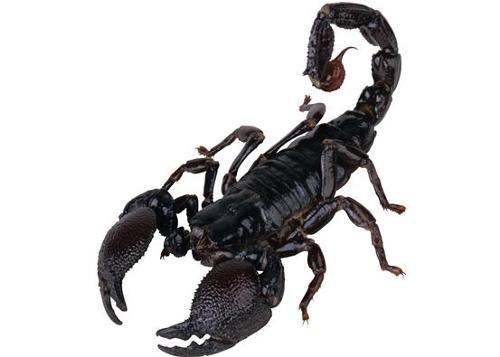 蝎子(节肢动物) - 搜狗百科