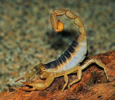 蝎子步骤动物画