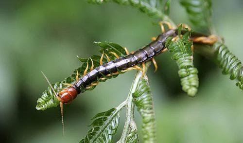 蜈蚣(节肢动物门多足纲陆生节肢动物)
