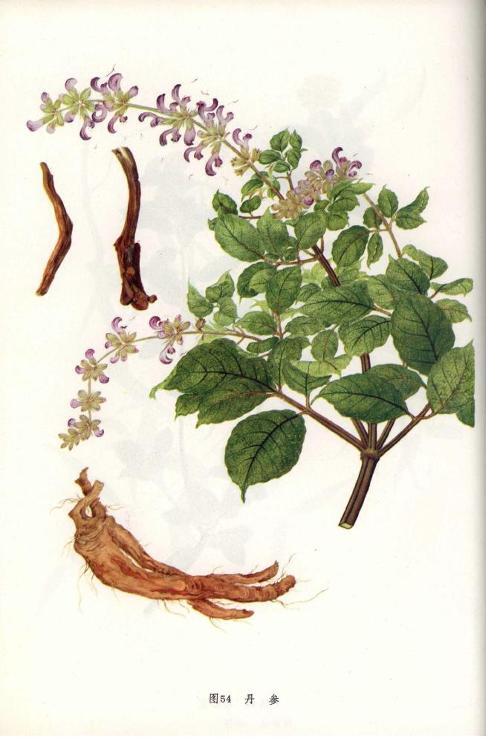 是唇形科鼠尾草属植物