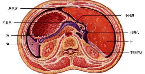 腹腔结构示意图