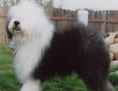 英国古代牧羊犬 - 搜搜百科图片