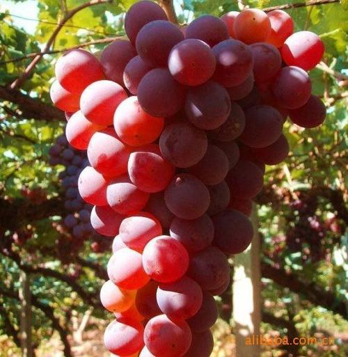 吐鲁番葡萄   以   新疆吐鲁番   地区特产葡萄干,加入优质...