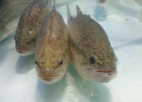 绝大部分罗非鱼是杂食性,常方法中家兔插导尿管的吃水图片