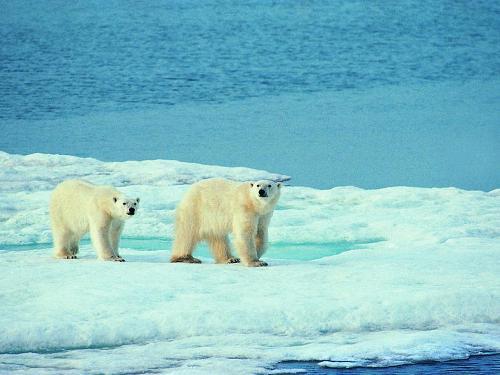 北极熊等动物将失去