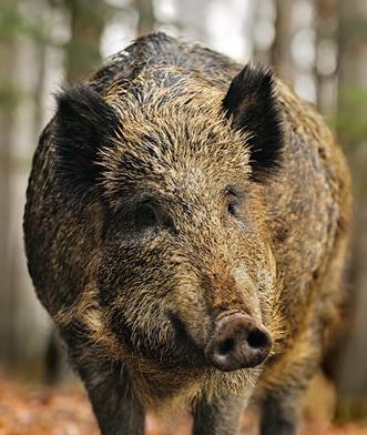 野猪头部手绘图