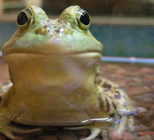 牛蛙价格波动大吗?2020年牛蛙多少钱一斤?