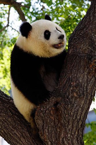 小熊猫; 傻妞萌萌; 小熊猫牌香烟 - 搜搜百科