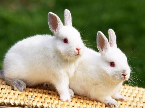 小白兔(草食性脊椎动物)