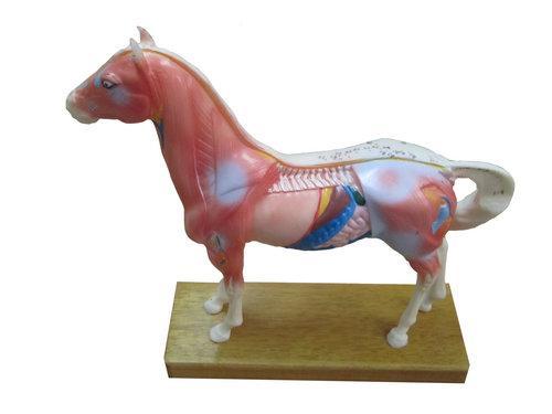 并切除体壁,显示脊柱和内脏结构,模型主要用于学习马的针灸腧穴位置和