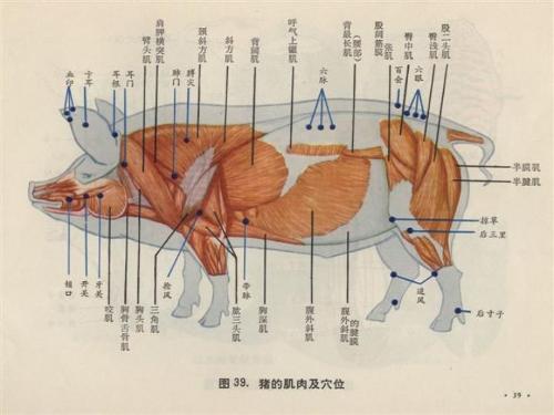 肌肉_猪的肌肉及穴位; 猪体针灸模型;   生猪的穴位图
