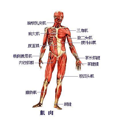 人体肌肉分布图_人体主要肌肉; 肌肉坏死;; 运动系统