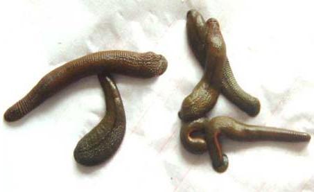 全部版本 历史版本  水蛭为无脊椎软体动物,无骨架结构,全体均可利用.