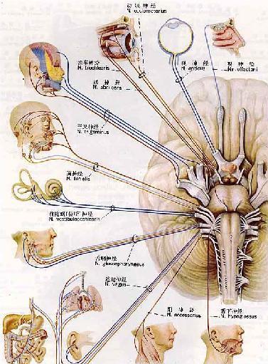 脊髓神经细胞手绘图
