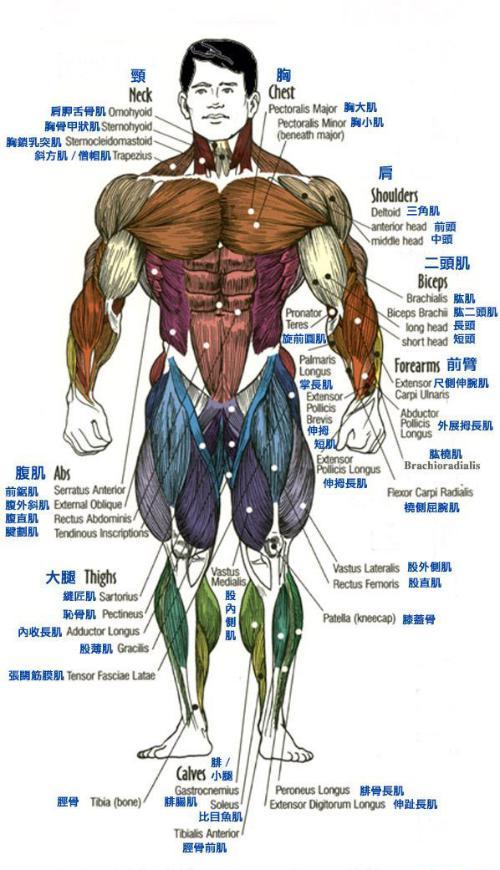 人体全身肌肉示意图